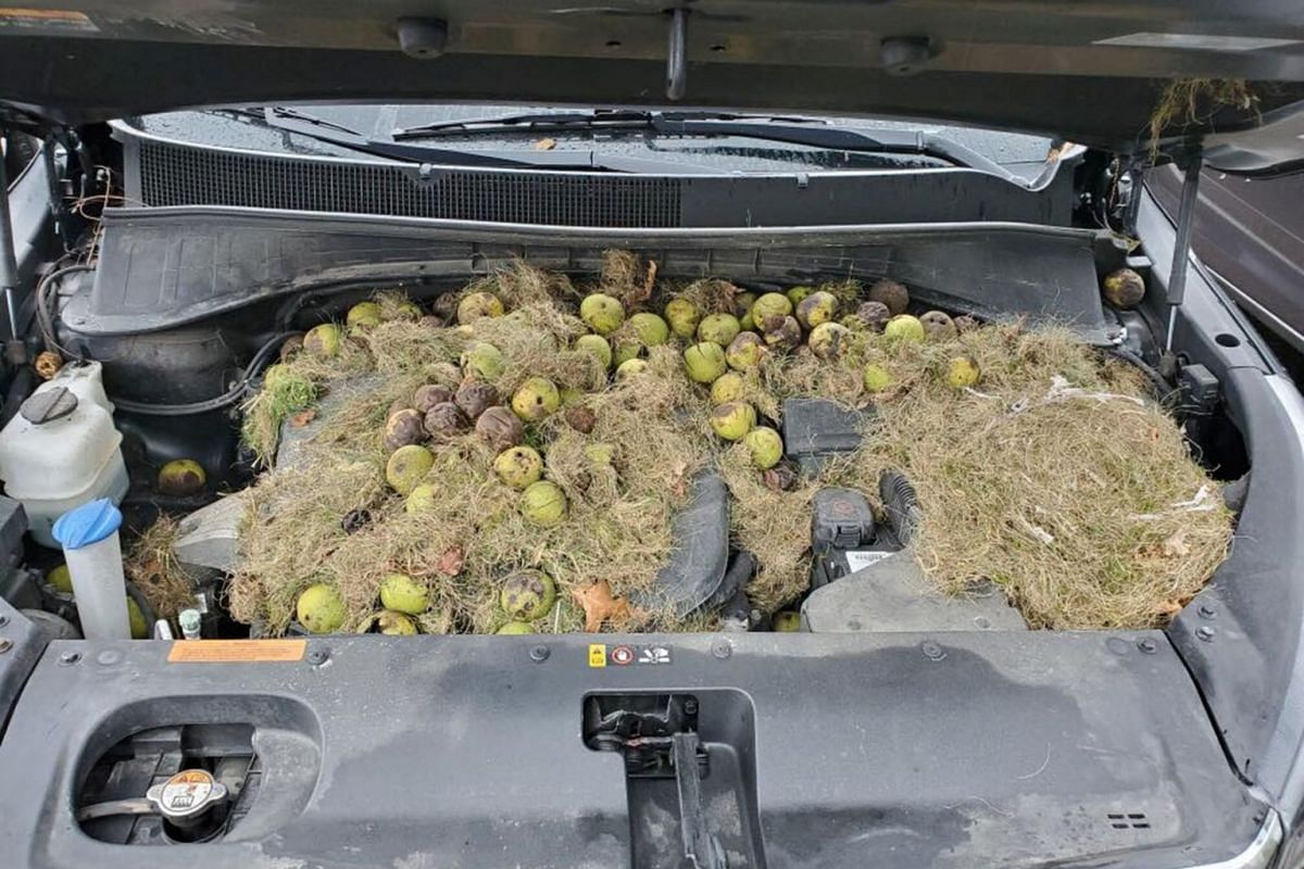 Walnuts and grass hidden by squirrels are seen under the hood of a car, in Allegheny County, Pennsylvania, U.S. in this October 7, 2019 image obtained via social media. PHOTO: CHRIS AND HOLLY PERSIC VIA REUTERS