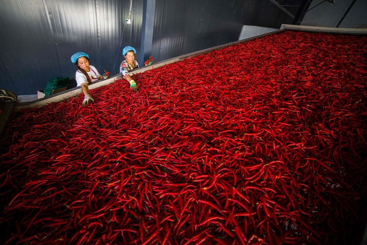 A photo issued on Oct 10, 2019, shows workers sorting chilli peppers at a cooperative which produces both fresh peppers and dried chilli powder in Yangchang town, Dafang county, Bijie in China's southwest Guizhou Province, Oct 7, 2019.