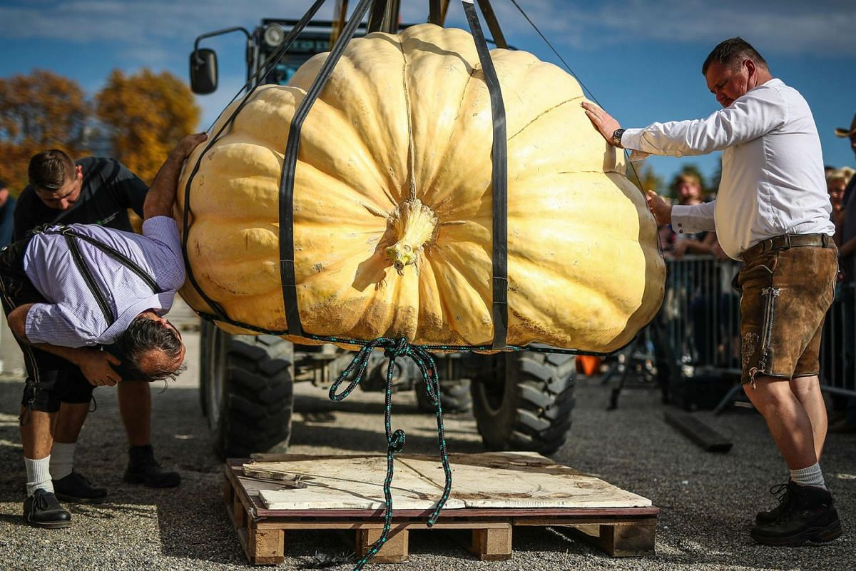 Pumpkin enthusiasts prepare a pumpkin to be weighed during the European pumpkin weighing championships in Ludwigsburg, southern Germany, on October 13, 2019. PHOTO: DPA VIA AFP