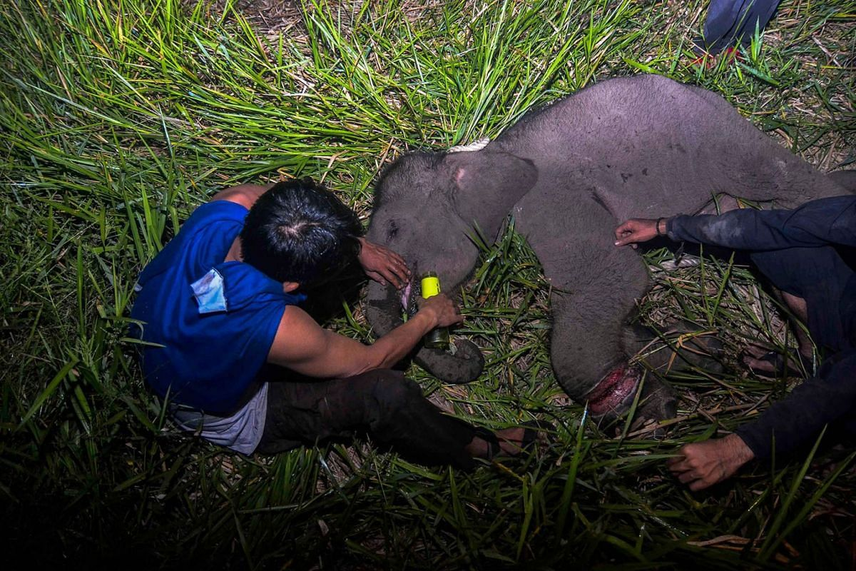 This picture taken early on October 16, 2019 shows an Indonesian ranger treating an injured baby elephant left behind by the herd in Siak, Riau. PHOTO: AFP