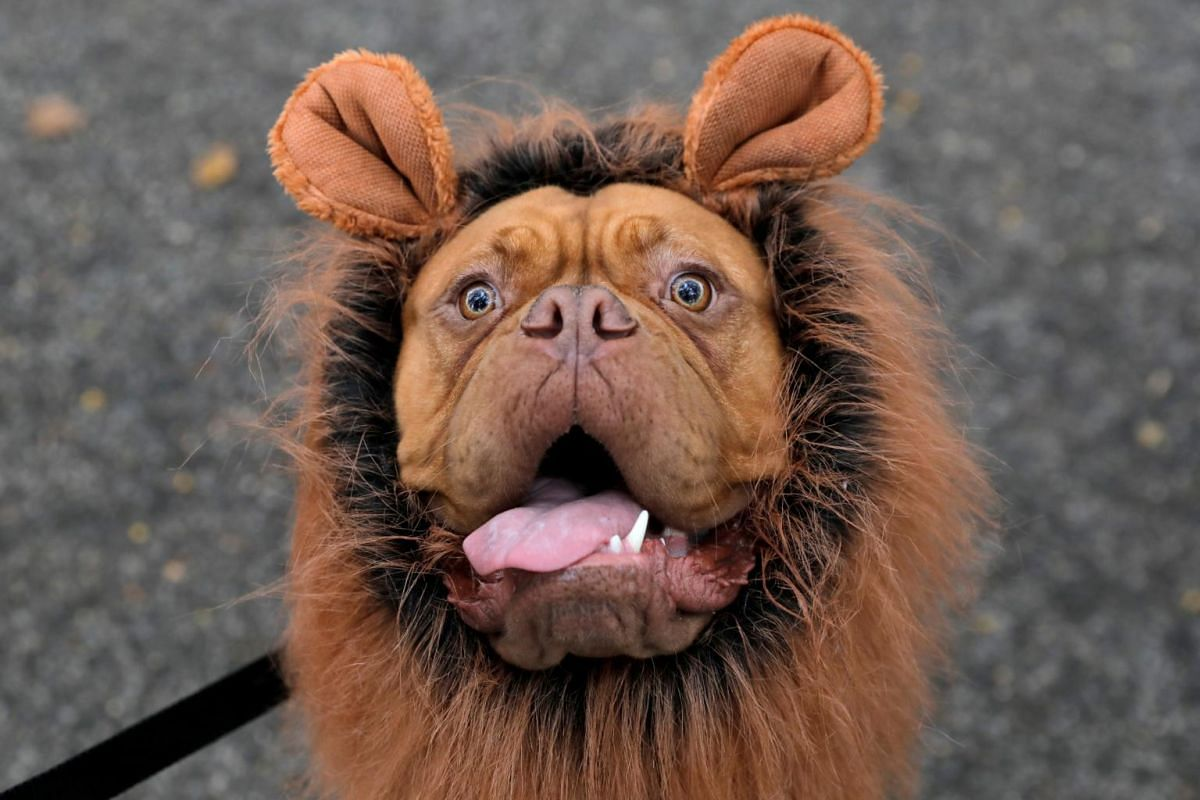 Frankie the French mastiff poses while dressed as a lion at the Tompkins Square Halloween Dog Parade in Manhattan, New York City, on Oct 20, 2019.