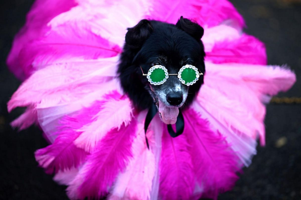 A dog dressed in a costume as the singer Rihanna attends the Tompkins Square Halloween Dog Parade in Manhattan, New York City, on Oct 20, 2019.