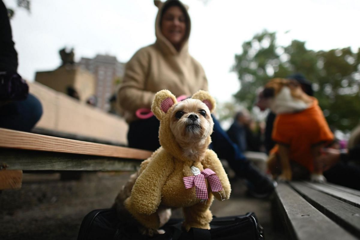 A dog dressed in a teddy bear costume attends the Tompkins Square Halloween Dog Parade in Manhattan in New York City, on Oct 20, 2019.
