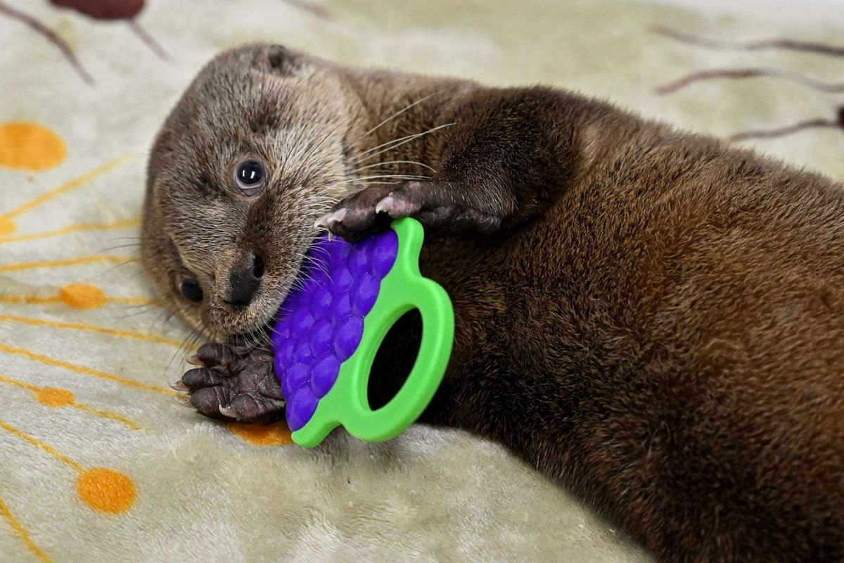 A river otter (lontra longicaudis) of 6-weeks-old plays at the Animal Welfare Unit of the Zoo in Cali, Colombia, on October 22, 2019. - The baby otter was found abandoned brought to the Cali Zoo for breeding, for its extensive experience in raising t