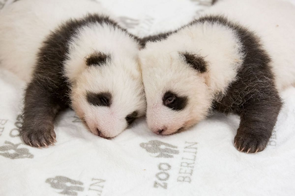 This handout picture released on November 1, 2019 by the Zoo Berlin shows Berlin's two-month-old giant panda cubs at the Zoologischer Garten zoo in Berlin. They are the first giant panda offspring in Germany. The Berlin panda Meng Meng gave birth to
