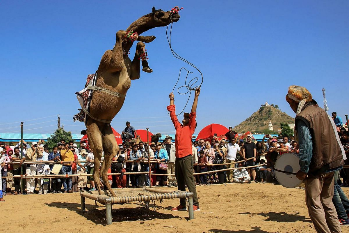 """A camel performs during a """"dance competition"""" held during the Pushkar Camel Fair in Pushkar, in the western state of Rajasthan, on November 5, 2019. PHOTO: AFP"""