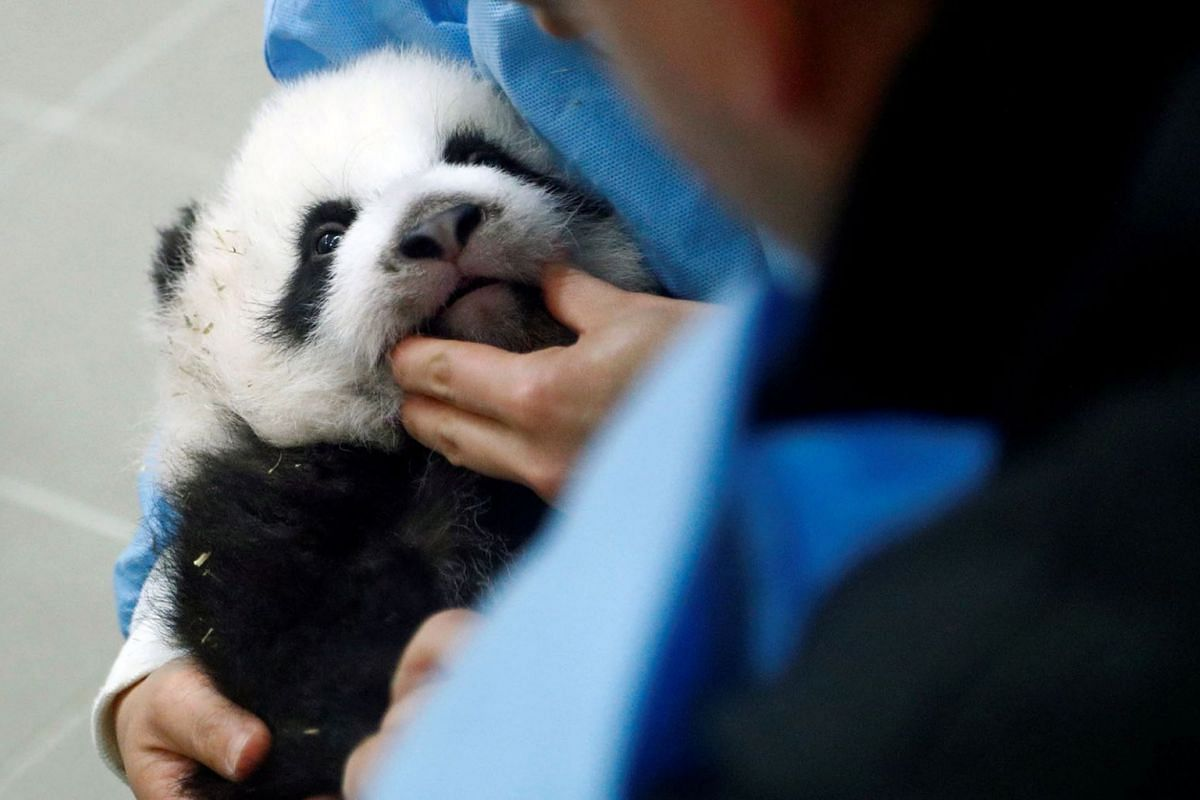 Chinese zoo keeper Yang Liu examines one of the two three-month-old twin panda cubs at Pairi Daiza wildlife park, a zoo and botanical garden in Brugelette, Belgium, Nov 7, 2019.