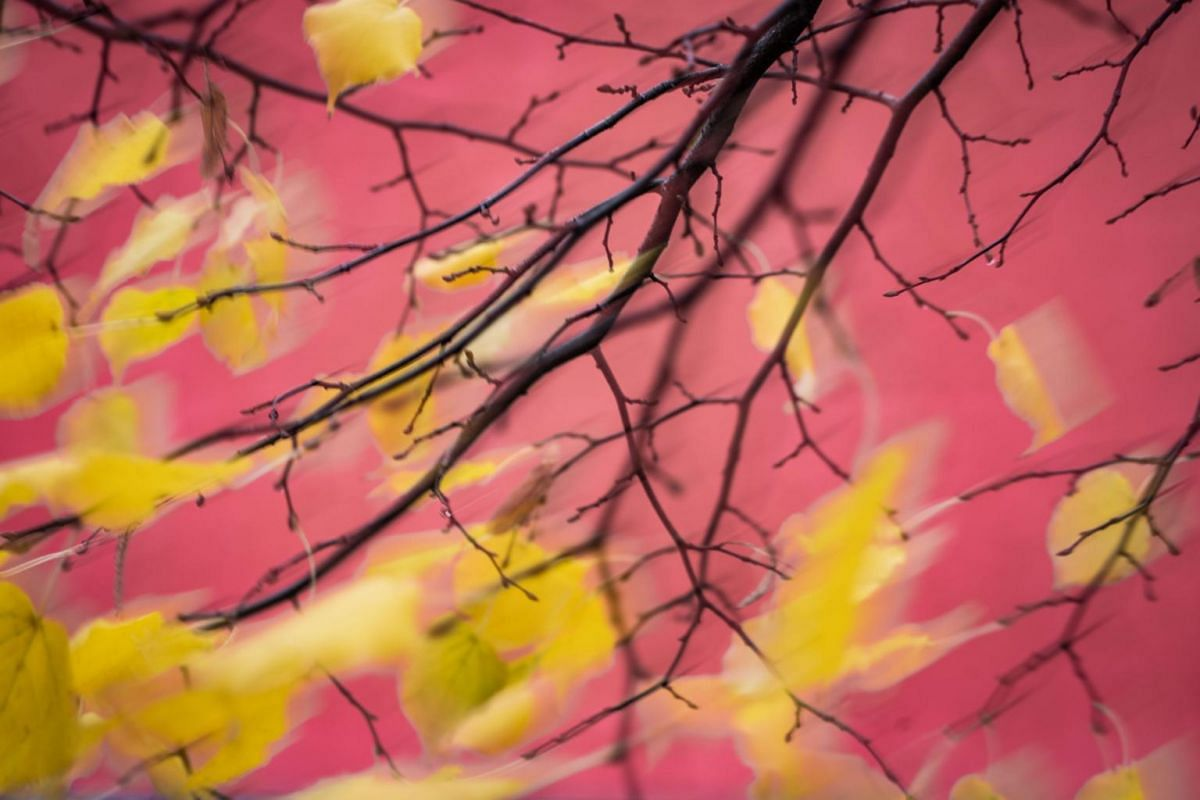 Wind wafts through an autumnally coloured lime tree, on Nov 10, 2019, in Frankfurt am Main, western Germany.