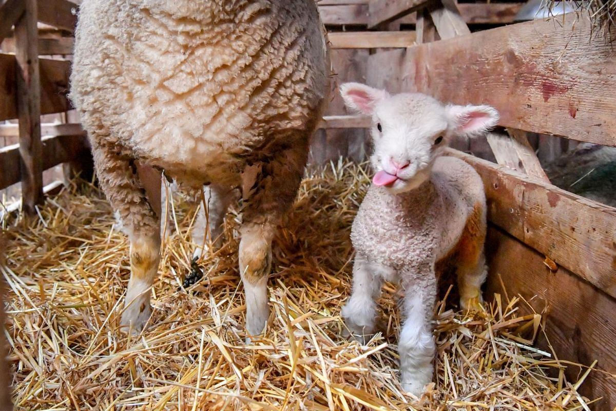 A newborn lamb sticks its tongue out as it stands next to its mother in the lambing sheds at The Olde House in Chapel Amble, England, on Nov 24, 2019.