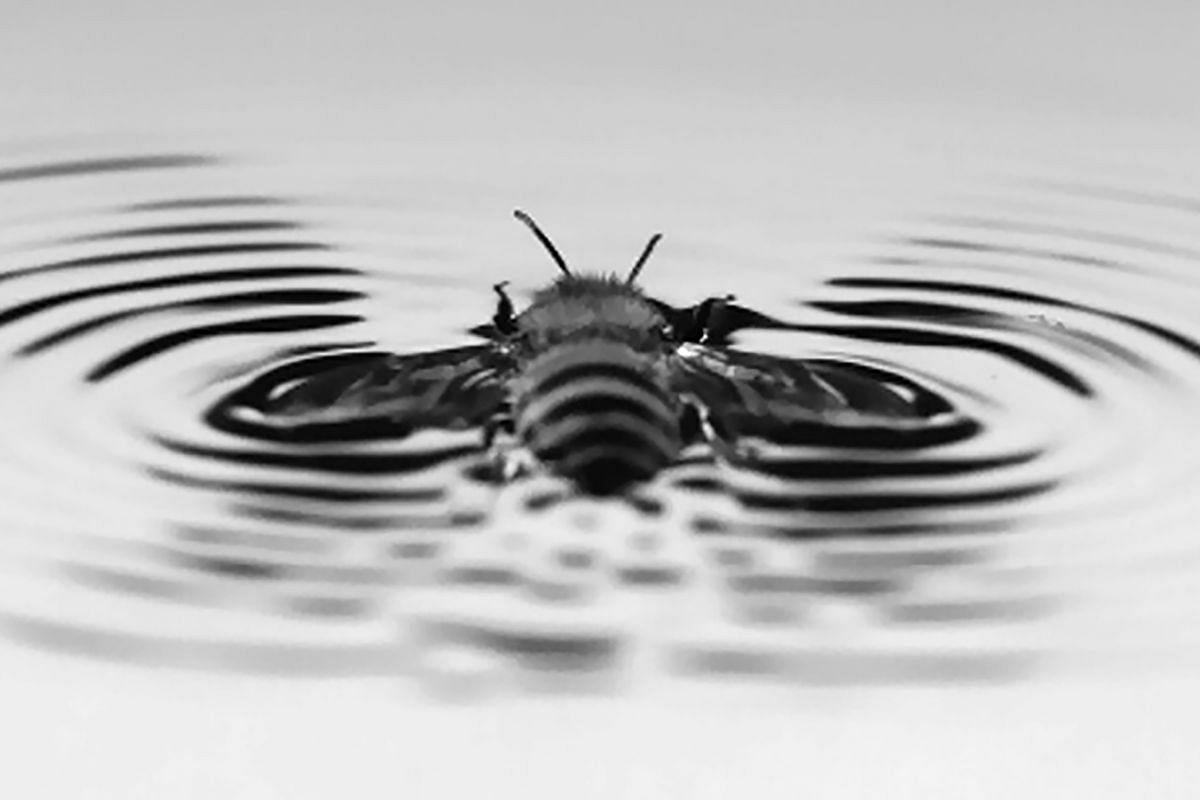 In an undated image provided by Chris Roh and Morteza Gharib, CalTech, slow-motion cameras show how bees' wing movements create waves. When honeybees fall into water, they generate their own ripples, then glide to dry land, a study found.