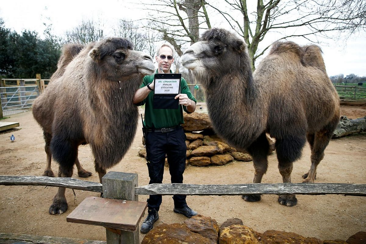 A zookeeper interacts with camels during the annual stocktake at ZSL London Zoo in London, Britain, January 2, 2020. PHOTO: REUTERS