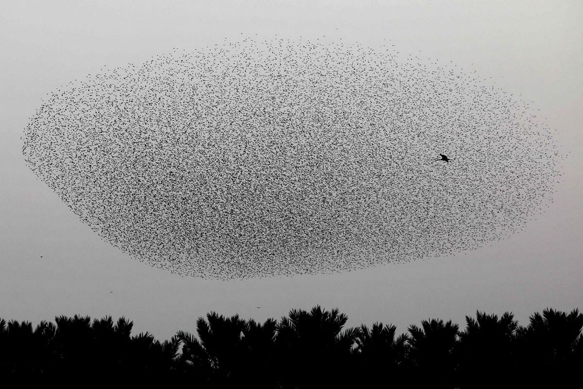 A picture taken on January 2 2020, shows a murmuration of starlings next to a stork during their traditional dance before landing to sleep on the Jordan Valley in the West Bank along the border with Jordan. PHOTO: AFP