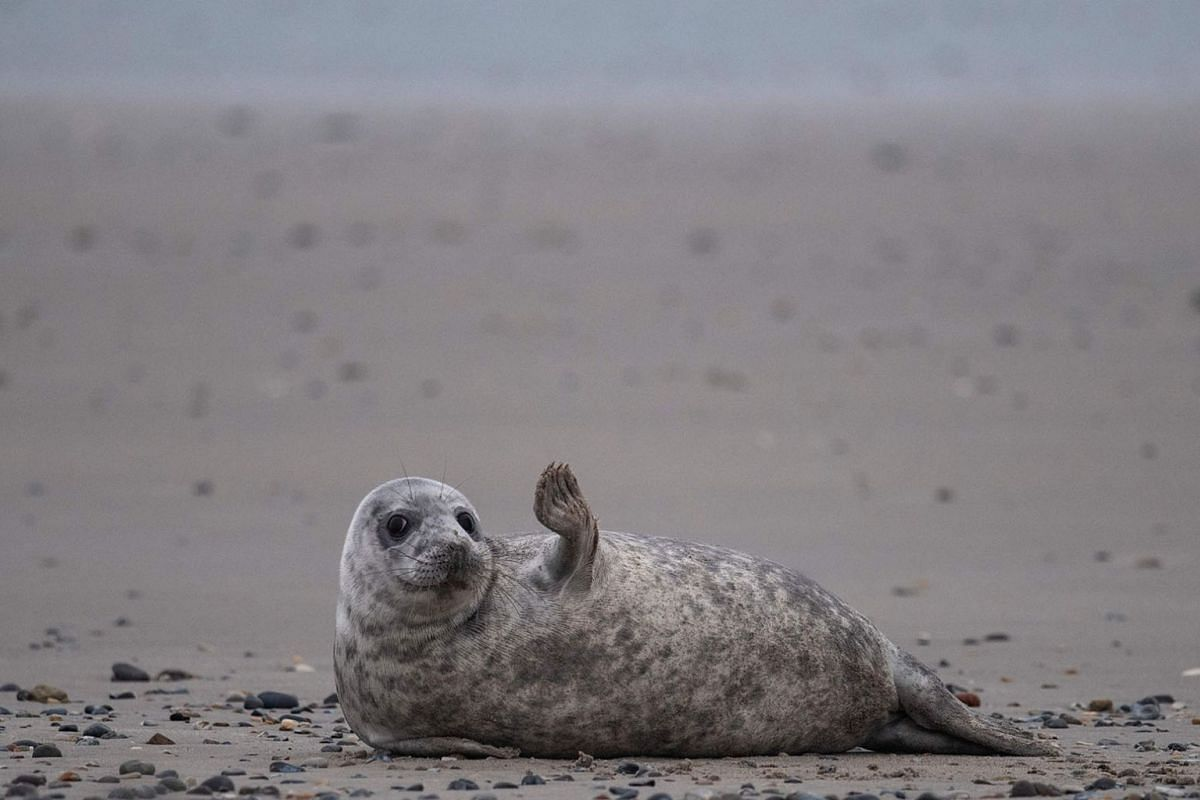 A young grey seal gestures as it lies on a beach on the North Sea island of Helgoland, Germany, on Jan 5, 2020. Hundreds of Grey Seals use the island to give birth to their pups, usually between the months of November and January. The pups, after 3 w