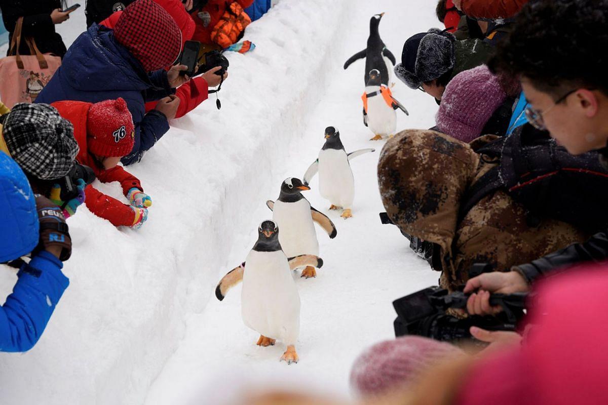 Penguins walk on snow during the Harbin International Ice and Snow Sculpture Festival, near the Harbin Polarland aquarium in Heilongjiang province, China, Jan 7, 2020.