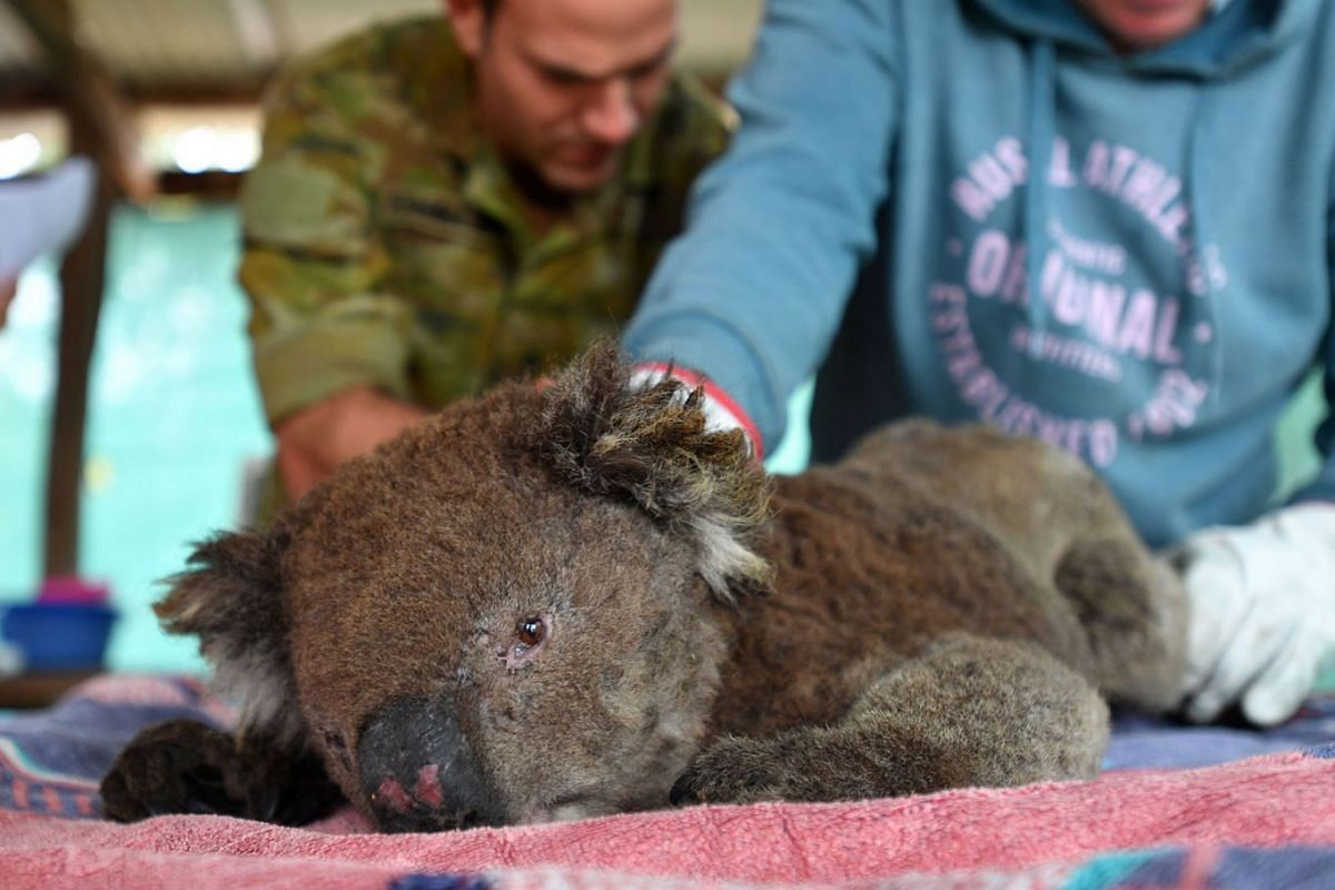 Vets and volunteers treat Koalas at Kangaroo Island Wildlife Park, on Kangaroo Island, Australia, 10 Jan, 2020. Dozens of Koalas have been rescued from the fires over the past five days.