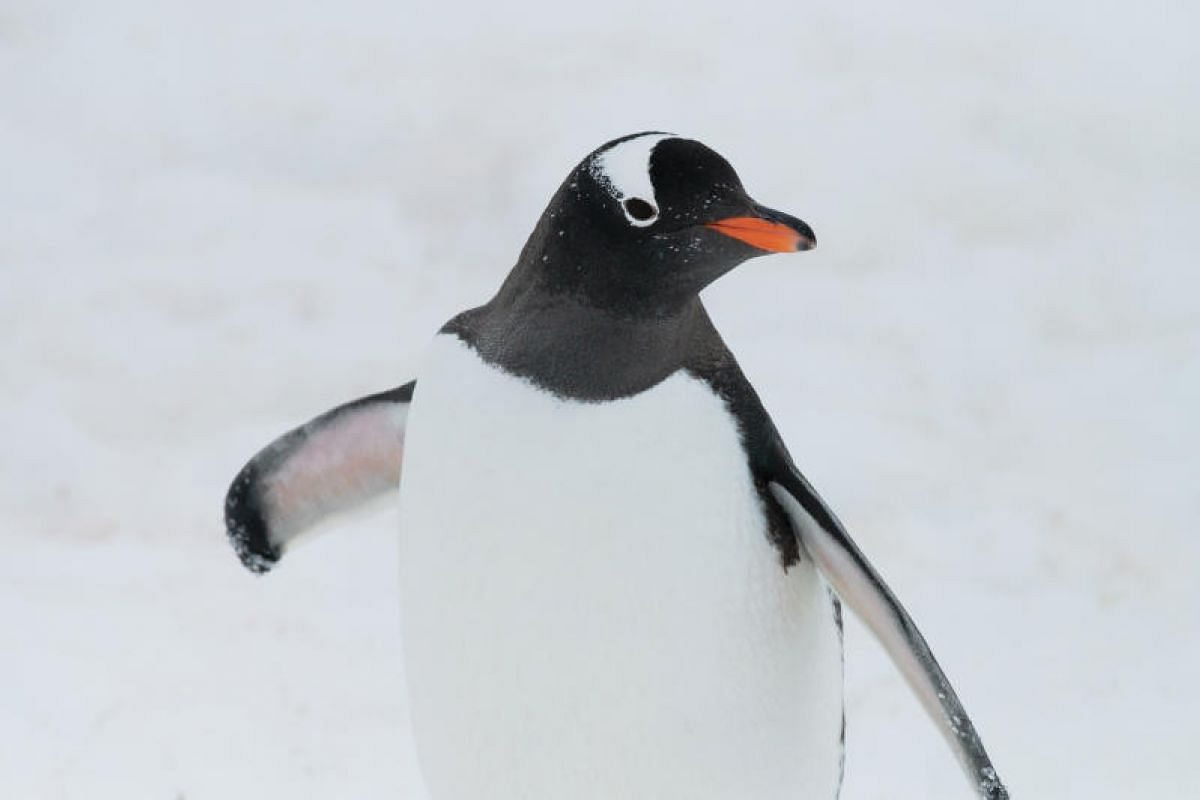 A curious gentoo penguin walking up close to inspect the clicking sounds of the camera. Guidelines by the International Association of Antarctica Tour Operators stipulate that visitors maintain a minimum distance of 5m from wildlife.