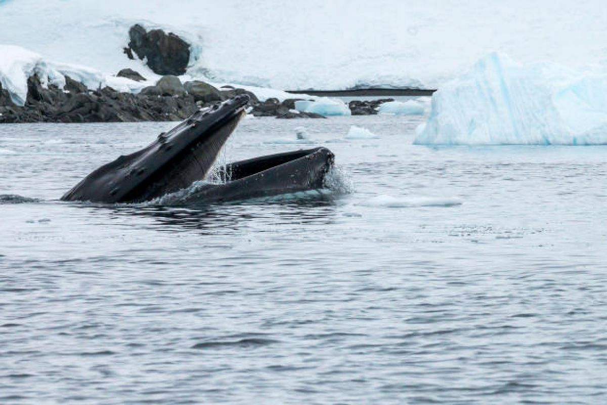 A humpback whale at Cuverville Island opening its mouth to feed on krill, with its baleen clearly visible.