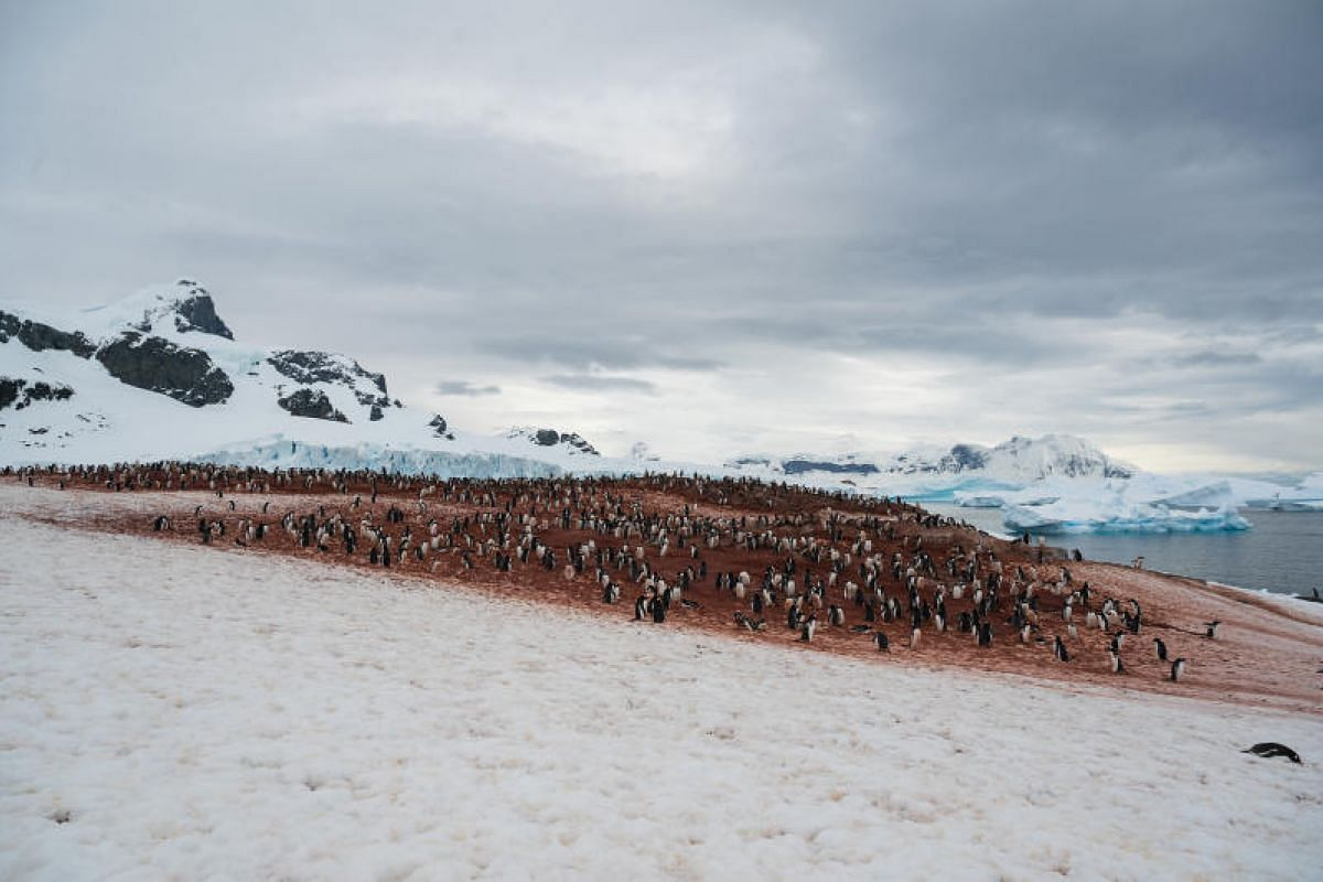 Several colonies of gentoo penguins nest at Neko Harbour, Andvord Bay. It is also home to Weddell and fur seals.