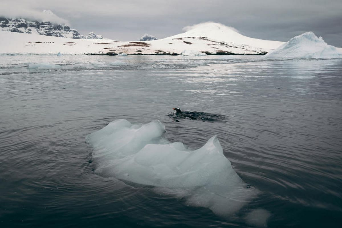 A gentoo penguin porpoising in the waters at Port Lockroy hunting for fish and krill.