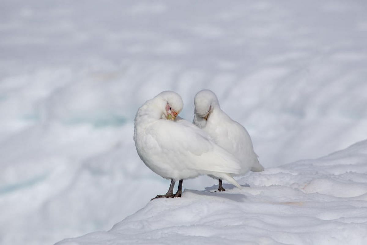 A pair of snowy sheathbills preen themselves at Damoy Point. They are well-known as scavengers, and are the only Antarctic birds not to have webbed feet.
