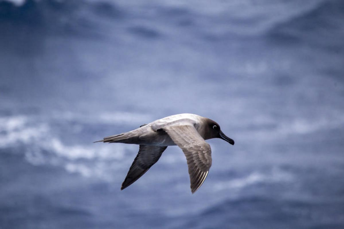 Many species of seabirds follow a ship as it sails along the Drake Passage, including this light-mantled sooty albatross. These birds are able to fly thousands of kilometres by gliding on wind currents.
