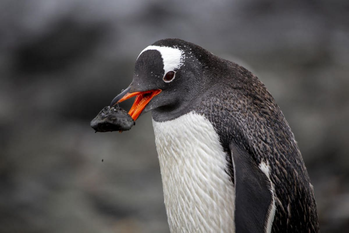 A male gentoo penguin picks the perfect stone for his perfect home at Barrientos Island.