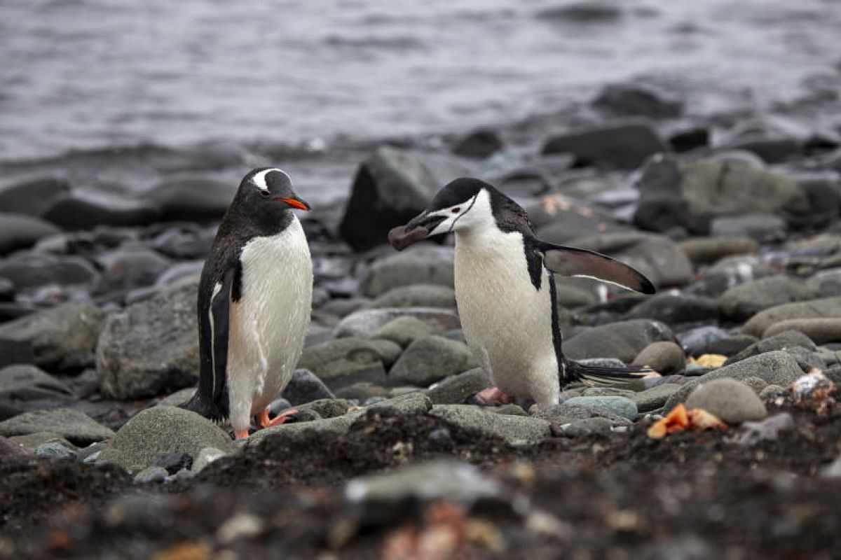 A chinstrap penguin scurries past with a prized stone for his intended mate as a gentoo penguin looks on. During courtship, a male penguin will present the smoothest pebble he can find to a female as a gift.