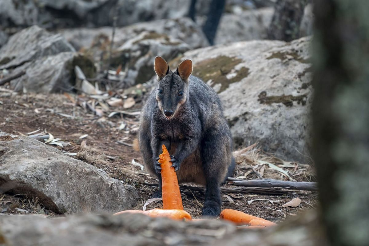 A handout photo issued on Jan 13, 2020 shows a wallaby eating carrots from a food drop by the New South Wales (NSW) National Parks and Wildlife Service into fire-affected areas in New South Wales, Australia on Jan 11, 2020 . PHOTO: HANDOUT VIA EPA-EF