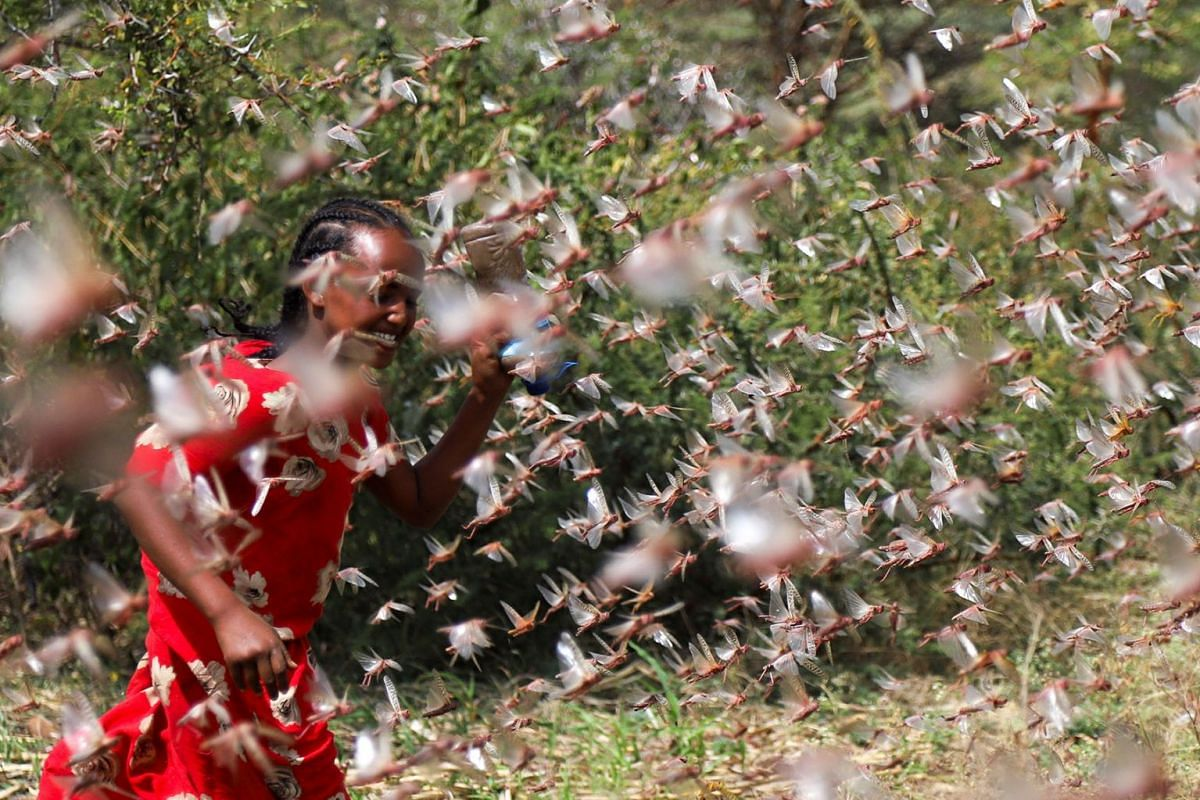 An Ethiopian girl attempts to fend off desert locusts as they fly in a farm on the outskirt of Jijiga in Somali region, Ethiopia January 12, 2020. PHOTO: REUTERS