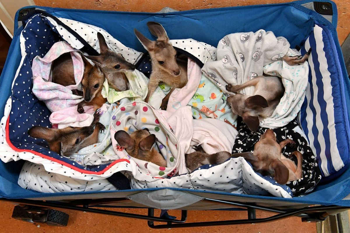 Kangaroo and wallaby joeys that have been orphaned due to a mixture of road accidents, dog attacks, bushfires and drought conditions are seen in a cart as they are treated at Australia Zoo Wildlife Hospital in Beerwah, Queensland, Australia, January
