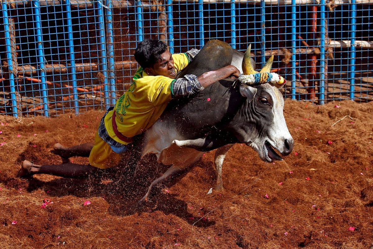 A villager tries to control a bull during a bull-taming festival, which is part of south India's harvest festival of Pongal, on the outskirts of Madurai town, in the southern Indian state of Tamil Nadu, India, January 15, 2020. PHOTO: REUTERS