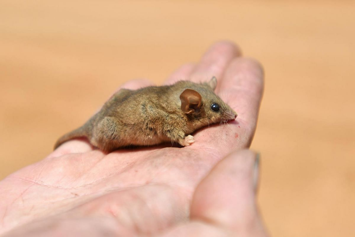 A rare Pygmy Possum is rescued at the Flinders Chase National Park after bush fires swept through on Kangaroo Island, south-west of Adelaide, South Australia, on Jan 7, 2020.