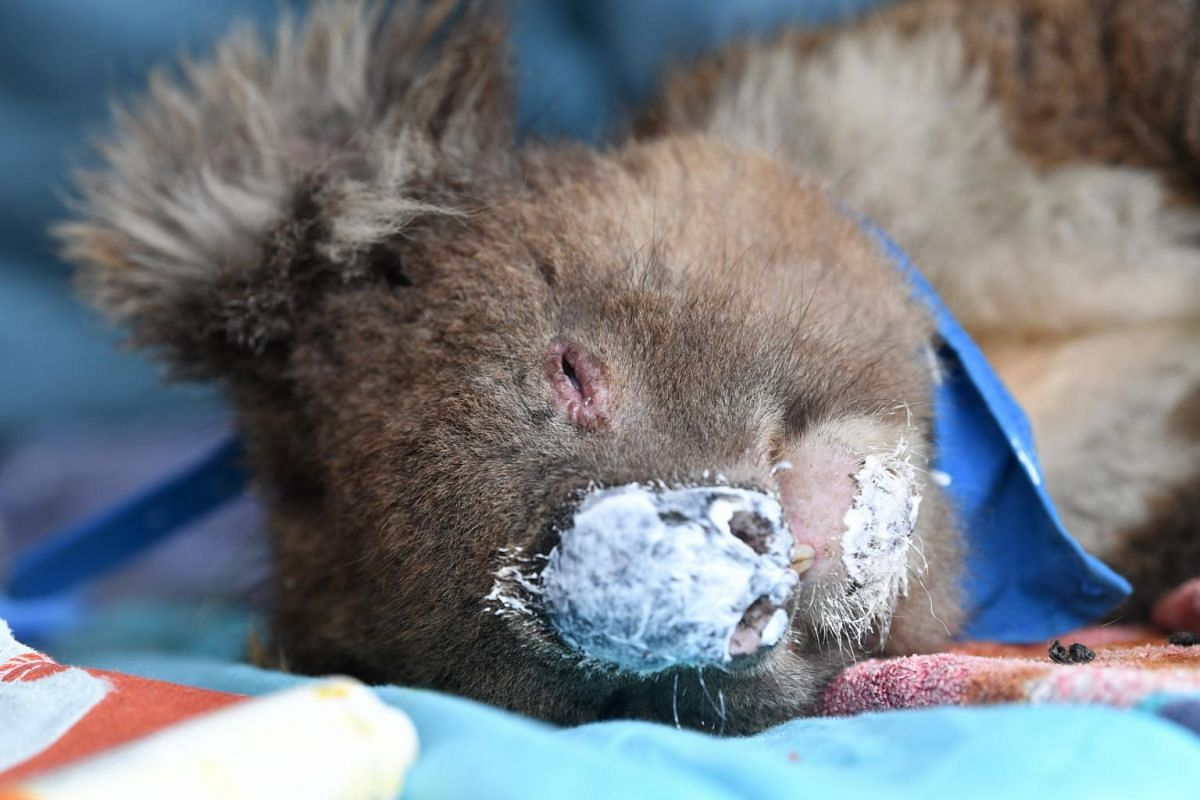 A koala being treated at Kangaroo Island Wildlife Park, on Kangaroo Island, Australia, on Jan 10, 2020.