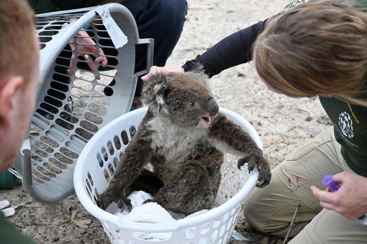 Humane Society International crisis response specialist Kelly Donithan checks an injured koala she just rescued on Kangaroo Island, on Jan 15, 2020.