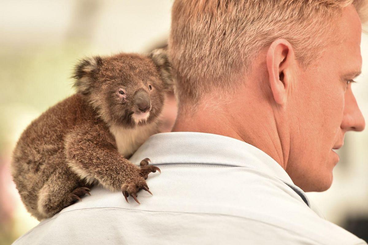 An orphaned baby koala sits on the shoulder of a vet at a makeshift field hospital at the Kangaroo Island Wildlife Park on Kangaroo Island, on Jan 14, 2020.