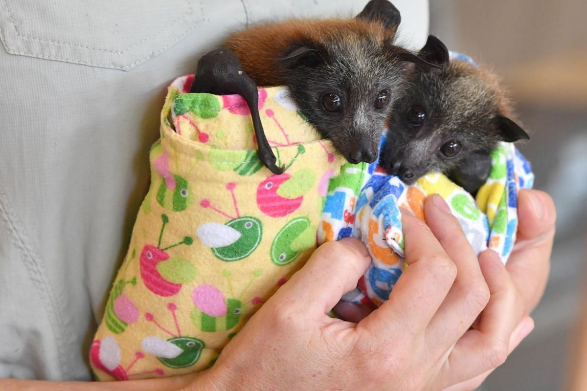 Veterinarian Ludo Valenza holds two grey-headed flying foxes which are being treated for bush fire injuries at the Australia Zoo Wildlife Hospital in Beerwah, Queensland, Australia, on Jan 15, 2020.