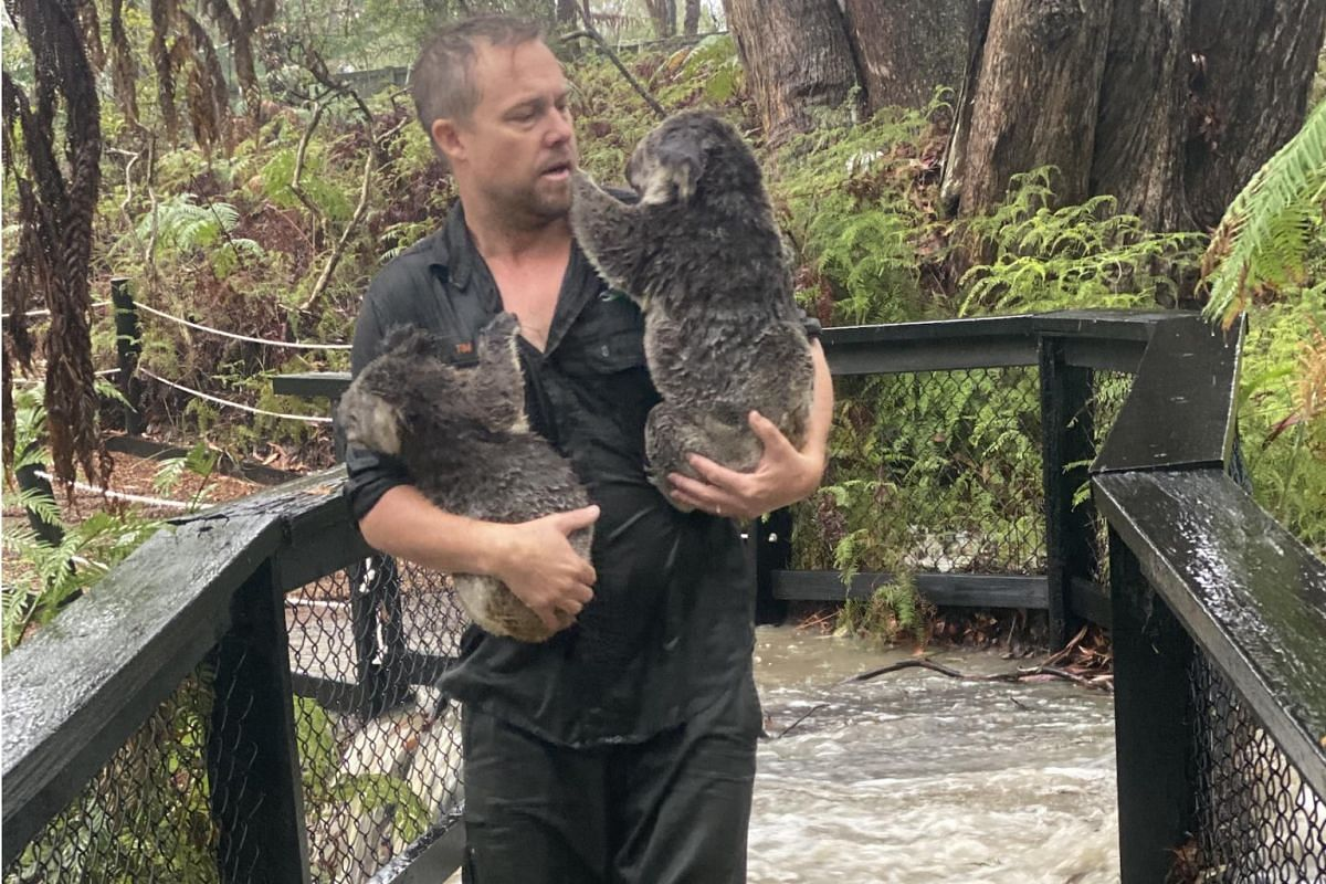 A worker at the Australian Reptile Park moving koalas to dryer enclosures during a flash flood in Somersby, New South Wales, on Jan 17.