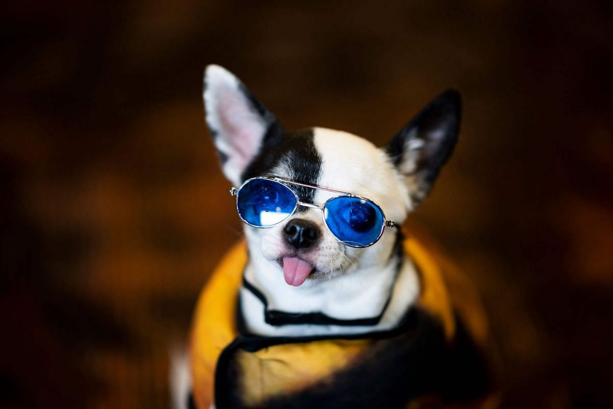 A dog is dressed in glasses for the 17th annual New York Pet Fashion Show on Feb 6, 2020 in New York City, USA.