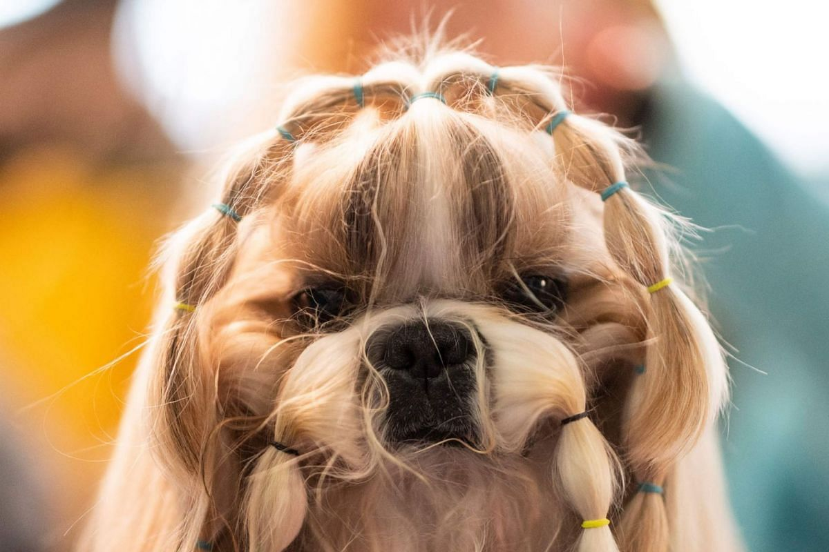 A dog is prepared before participating in the 144th annual Westminster Kennel Club Dog Show on February 10, 2019 in New York City. PHOTO: AFP