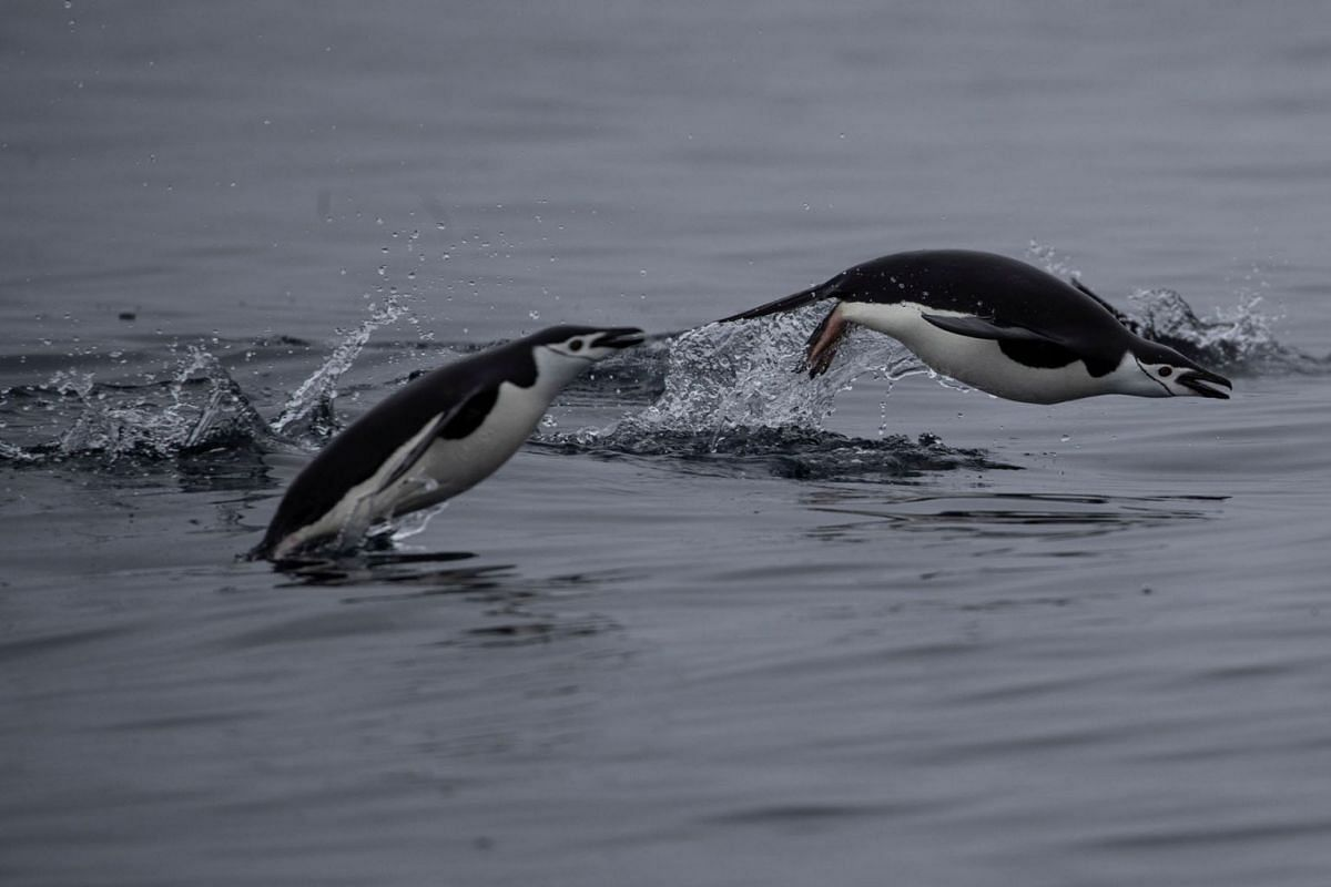 A photo released on Feb 12, 2020 shows a pair of chinstrap penguins swimming near Two Hummock Island, Antarctica on February 2, 2020. PHOTO: REUTERS
