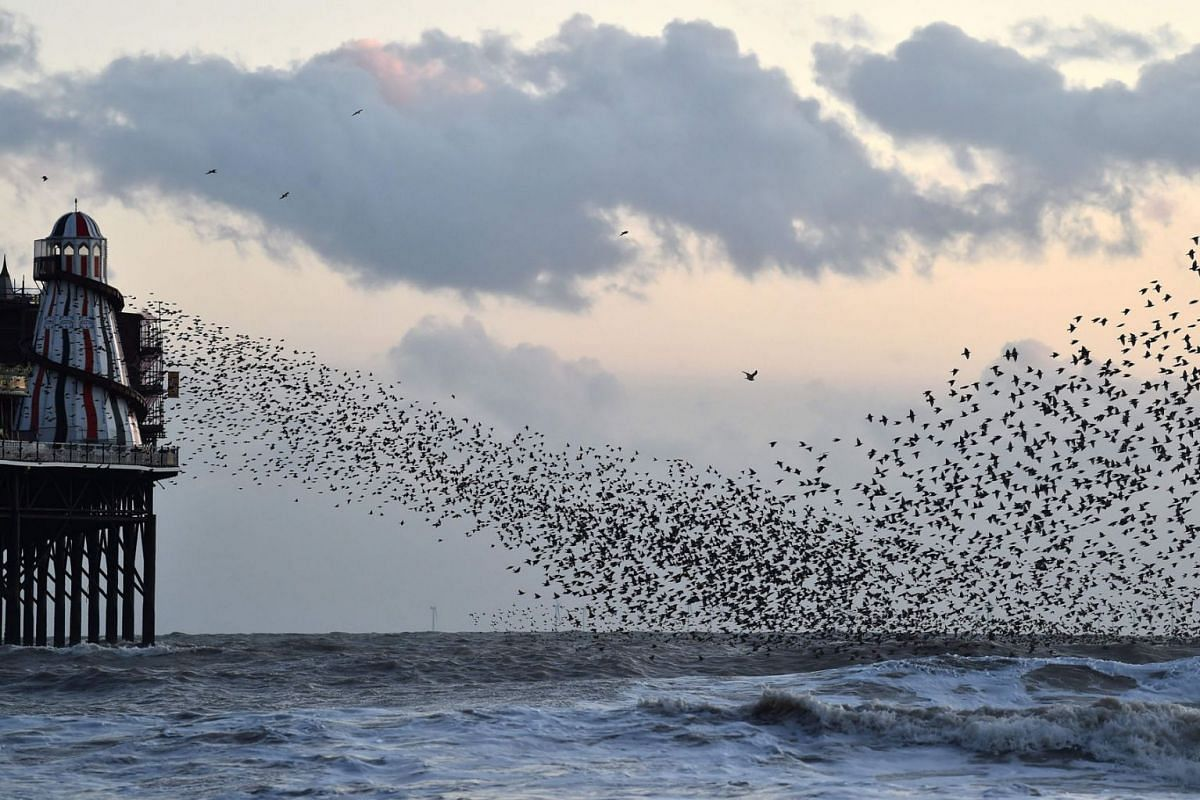 A murmuration of Starlings flock above the waves as they fly past the Palace Pier in Brighton, southern England, on February 11, 2020. PHOTO: AFP