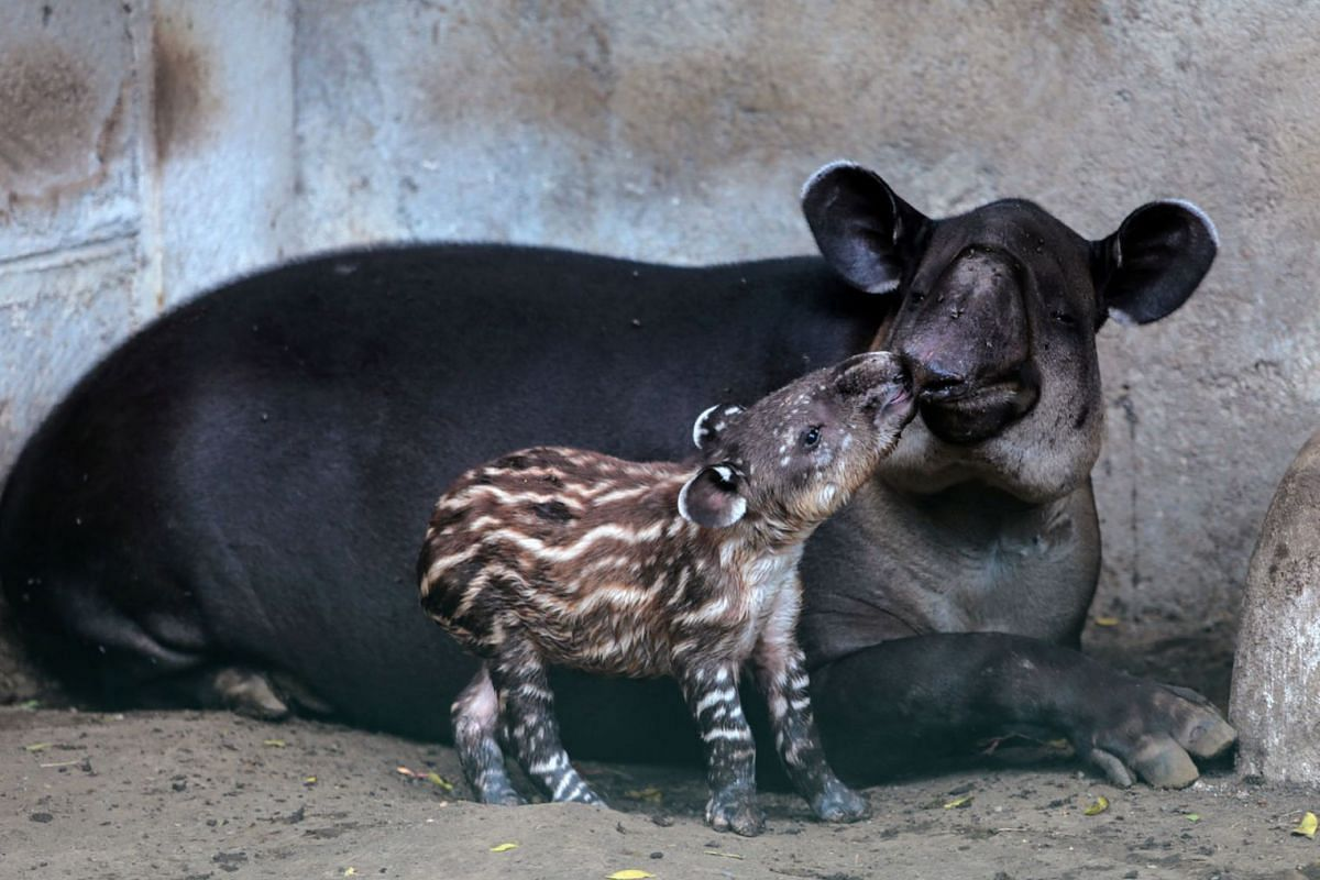 Valentina, a three-day-old tapir born in captivity and considered an endangered species in Central America, is seen near her mother at the National Zoo in Managua, Nicaragua, February 12, 2020. PHOTO: REUTERS