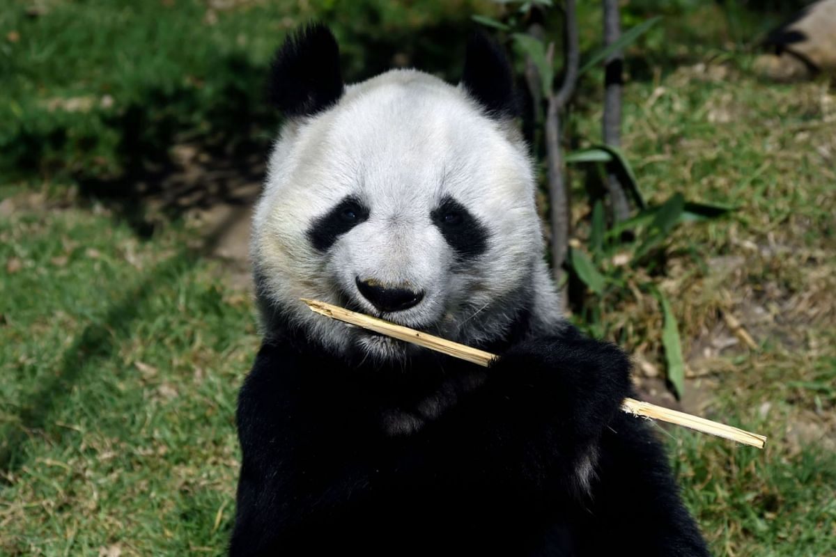 Shuan Shuan, a female giant panda (Ailuropoda melanoleuca) born in captivity in Mexico, holds a stick at the Chapultepec zoo in Mexico City, on February 12, 2020. PHOTO:  AFP