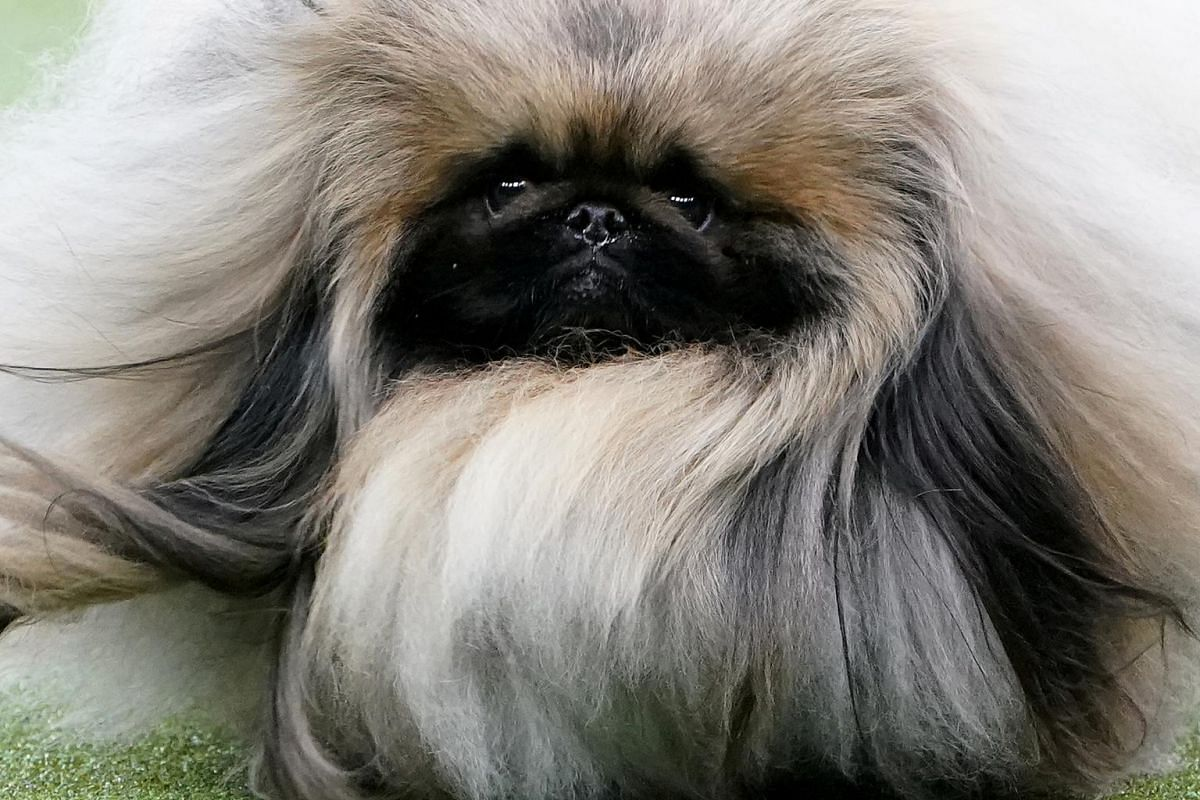 A Pekingese named Wasabi is judged at the 2020 Westminster Kennel Club Dog Show.