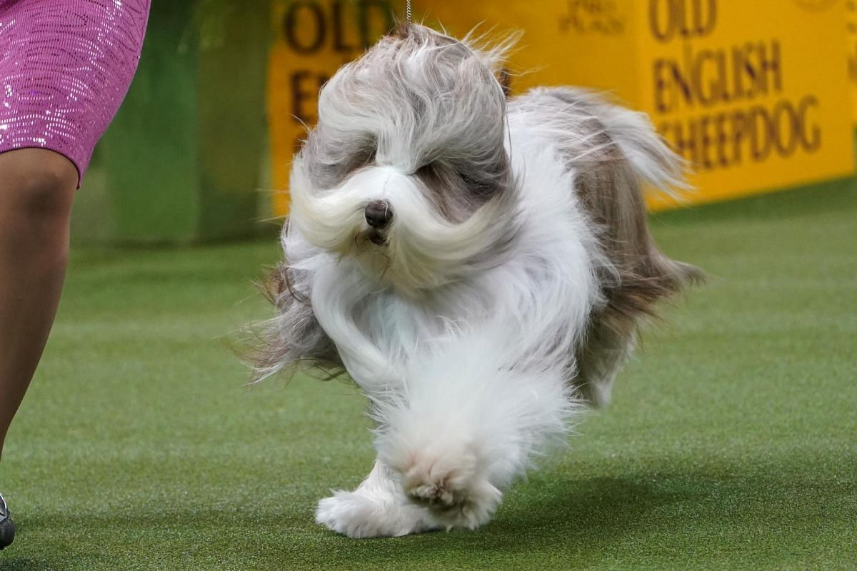 A dog competes at the 2020 Westminster Kennel Club Dog Show.
