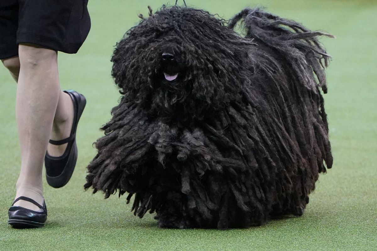 A Puli named Spaetzle is judged at the 2020 Westminster Kennel Club Dog Show.