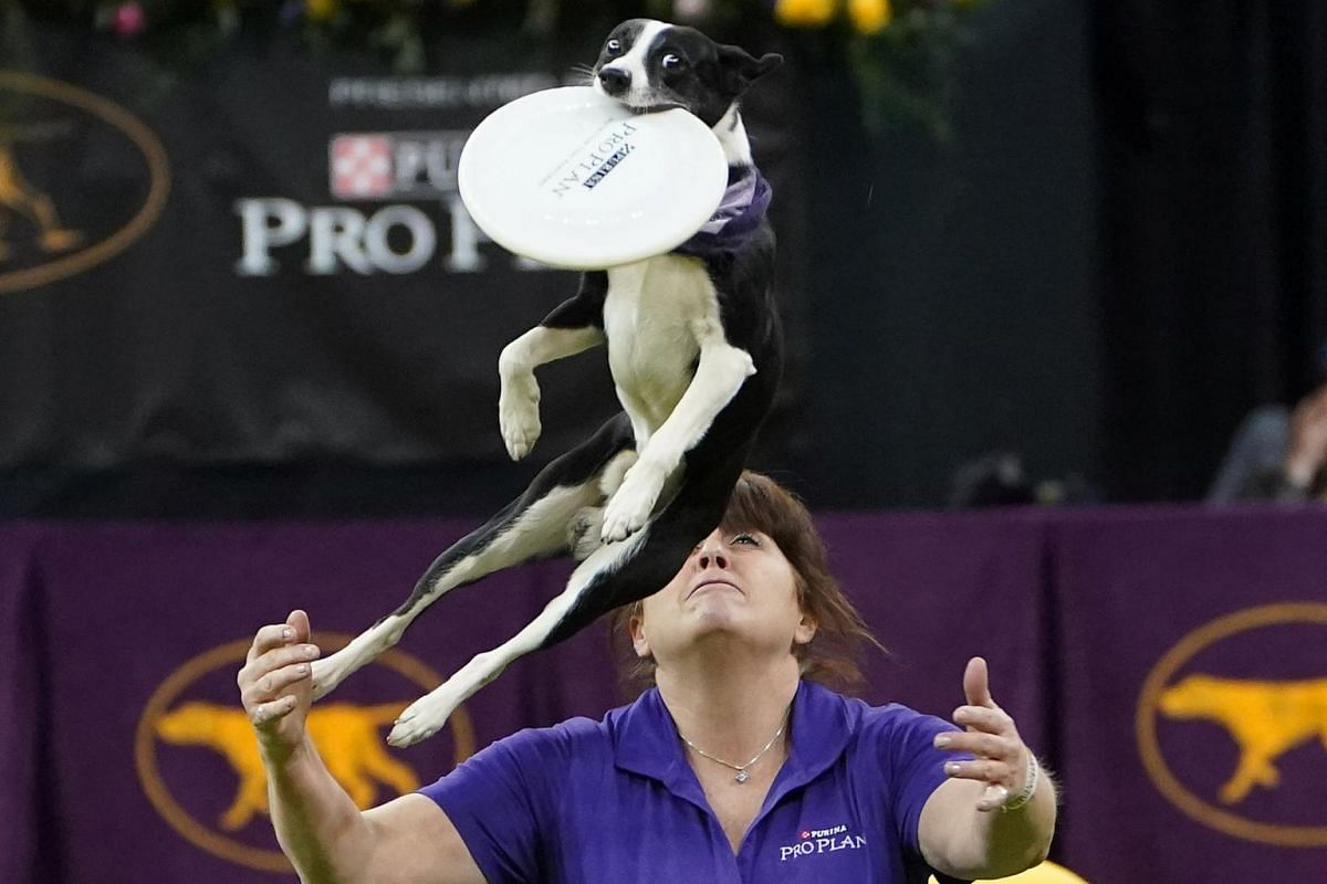 A dog performs tricks at the 2020 Westminster Kennel Club Dog Show.