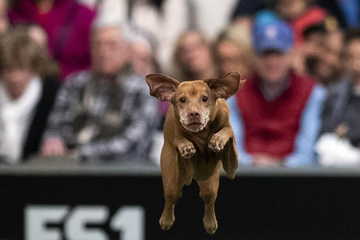A dog competes in the Masters Agility Championship.
