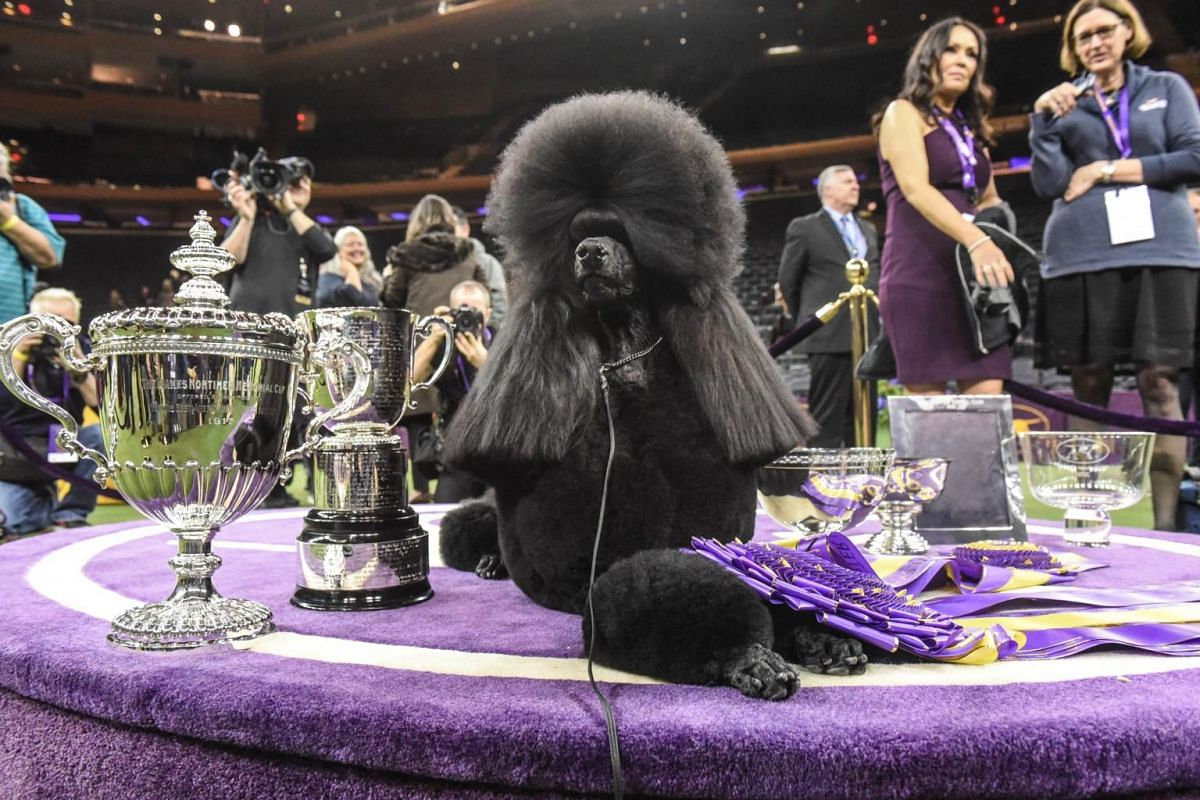Standard poodle Siba sits in the winner's circle with her trophies and ribbons after winning Best In Show.