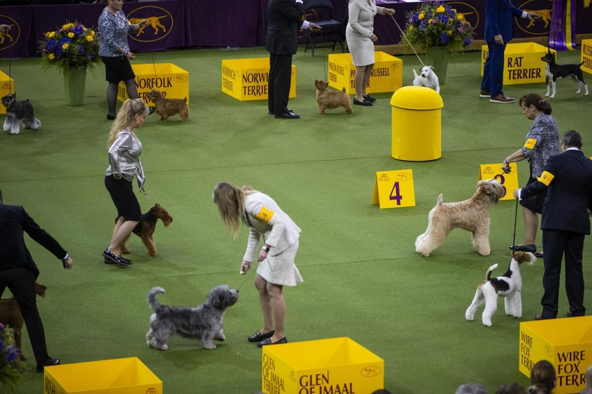 Terriers compete at the Westminster Kennel Club Dog Show in New York.